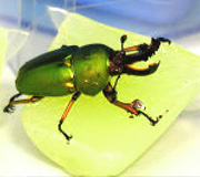 成虫用昆虫ゼリー