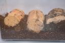 産卵木の採卵セット3